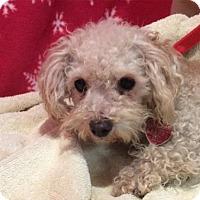 Toy Poodle Dog for adoption in Pomona, California - I1265197