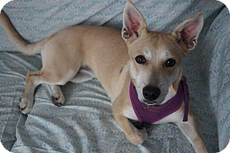 Corgi/Blue Heeler Mix Dog for adoption in St. Catharines, Ontario - Donita