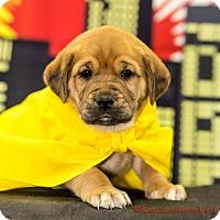Adopt A Pet :: Wolverine - Glastonbury, CT
