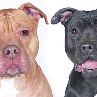 Adopt A Pet :: Red and Sophia - Chicago, IL