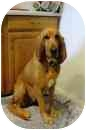 Bloodhound Dog for adoption in Phoenix, Arizona - Punkin Brown