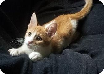 Domestic Shorthair Kitten for adoption in Irvine, California - JAKE