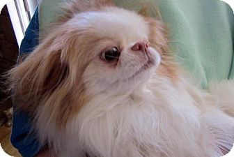 Japanese Chin Dog for adoption in Aurora, Colorado - Pixie