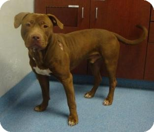 American Pit Bull Terrier Mix Dog for adoption in Gainesville, Florida - Buffalo Bill