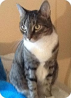 Domestic Shorthair Cat for adoption in Lindenhurst, New York - Chi Chi