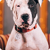 Adopt A Pet :: Scully - Portland, OR