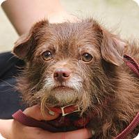 Adopt A Pet :: ROCKY-11 lbs of fluffy love - Pewaukee, WI