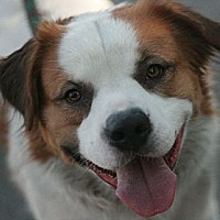 Australian Shepherd/St. Bernard Mix Dog for adoption in Canoga Park, California - Weston