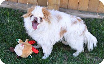 Japanese Chin Dog for adoption in Aurora, Colorado - Bobo