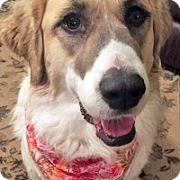 Adopt A Pet :: Bandit in NY - Beacon, NY