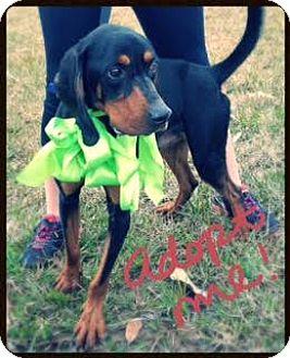 Coonhound Mix Dog for adoption in Groton, Massachusetts - Gunner