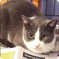 Domestic Shorthair Cat for adoption in Brampton, Ontario - Abbey