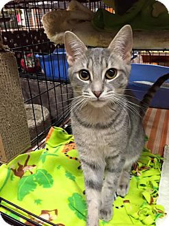 Domestic Shorthair Kitten for adoption in Blasdell, New York - Grey