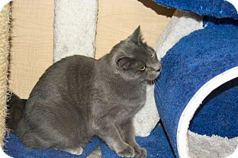 Domestic Shorthair Cat for adoption in Herndon, Virginia - Dusty