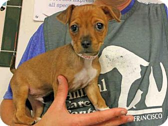 Chihuahua Mix Puppy for adoption in San Francisco, California - RAWLY