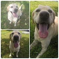 Labradoodle/Labradoodle Mix Dog for adoption in Orlando, Florida - Grover