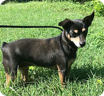 Rat Terrier/Terrier (Unknown Type, Small) Mix Dog for adoption in Washington, D.C. - Guinevere