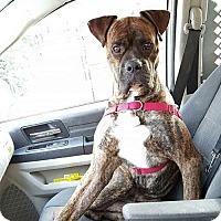 Adopt A Pet :: ZEUS - NYC, NY