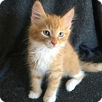 Domestic Longhair Kitten for adoption in Mackinaw, Illinois - Harry