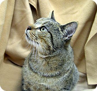 Domestic Shorthair Cat for adoption in Richmond, Virginia - Oscar