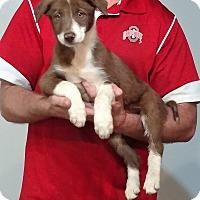 Border Collie/Australian Shepherd Mix Puppy for adoption in Gahanna, Ohio - Sweetie