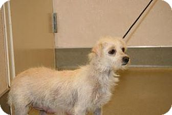 Terrier (Unknown Type, Small) Mix Dog for adoption in Wildomar, California - Wilma