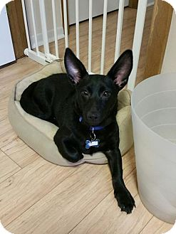 Dachshund/Chihuahua Mix Puppy for adoption in Jackson, New Jersey - DALLAS