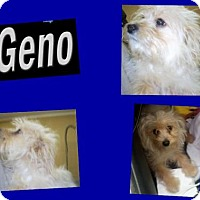Poodle (Miniature) Mix Puppy for adoption in Plano, Texas - GENO
