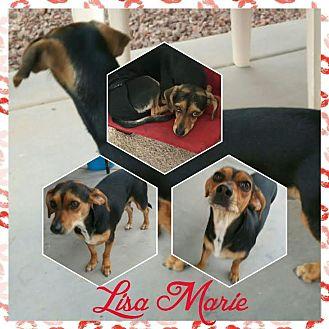 Dachshund/Beagle Mix Dog for adoption in Mesa, Arizona - LISA MARIE