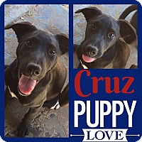 Labrador Retriever Mix Puppy for adoption in Snyder, Texas - Cruz