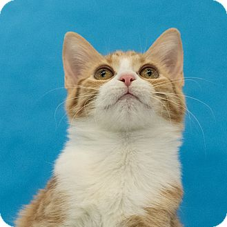 Domestic Shorthair Kitten for adoption in Houston, Texas - Katie