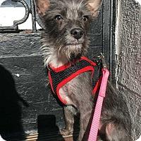 Adopt A Pet :: Vikkie! - New York, NY