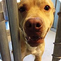 Adopt A Pet :: Sailor - Friendswood, TX