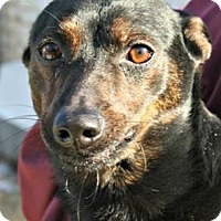 Dachshund/Chihuahua Mix Dog for adoption in Richland Hills, Texas - Owen
