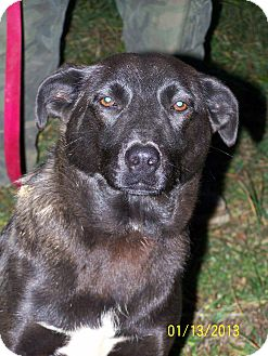 Labrador Retriever Mix Dog for adoption in Sherman, Connecticut - Rainman Betty's Dog