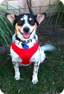 Australian Cattle Dog/Australian Cattle Dog Mix Dog for adoption in El Cajon, California - LAYLA