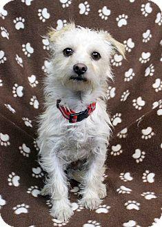 Westie Dog Rescue Colorado