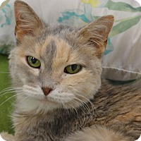 Domestic Shorthair Cat for adoption in House Springs, Missouri - Hannah