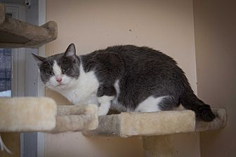 Domestic Shorthair Cat for adoption in Chicago, Illinois - April