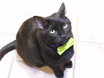 Domestic Shorthair Cat for adoption in St. Charles, Missouri - Midnight