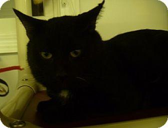 Domestic Shorthair Cat for adoption in Hamburg, New York - Ricky