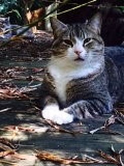 Domestic Shorthair Cat for adoption in Naples, Florida - Timmy