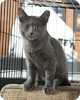 Domestic Shorthair Kitten for adoption in Carlisle, Pennsylvania - Haley
