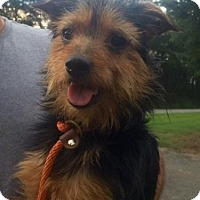 Yorkie, Yorkshire Terrier/Terrier (Unknown Type, Medium) Mix Dog for adoption in Rockmart, Georgia - Sadie