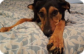 Doberman Pinscher/Hound (Unknown Type) Mix Dog for adoption in Aurora, Illinois - Minnie