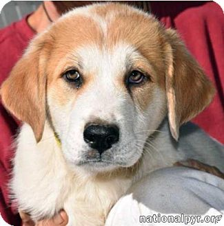 Great Pyrenees Mix Puppy for adoption in Beacon, New York - Roscoe - new pup!