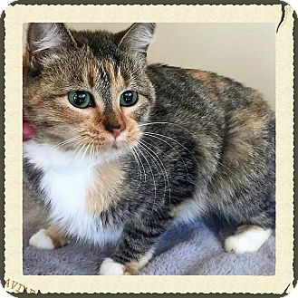 Domestic Shorthair Cat for adoption in Gahanna, Ohio - Sprinkles