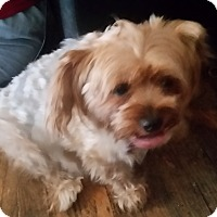Silky Terrier Mix Dog for adoption in Livermore, California - poppy
