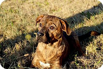 Plott Hound/Pointer Mix Dog for adoption in Joliet, Illinois - Gretta
