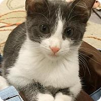 Manx Cat for adoption in Austin, Texas - Bibbs